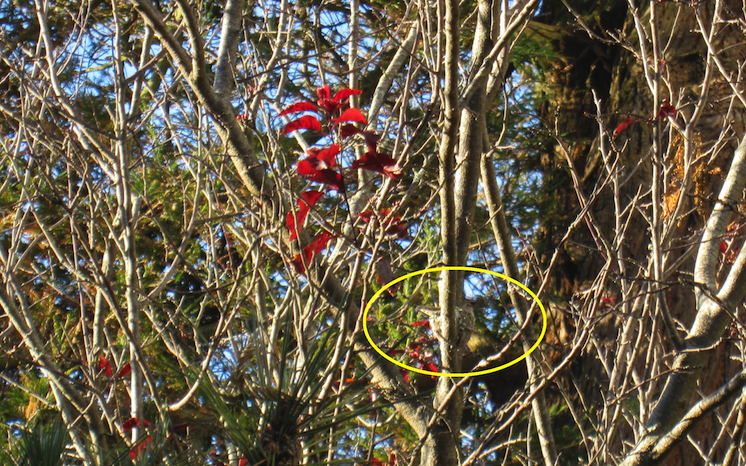 Kolibri rede